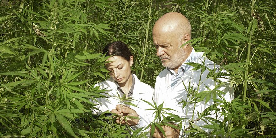 expert researchers checking hemp plants. buy hemp cbd oil for insomnia online USA.