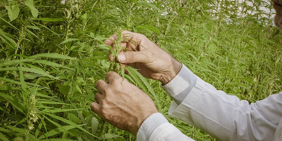 scientist checking hemp plants. cbd for alcohol withdrawal. cbd dosage for alcohol withdrawal. using cbd for alcohol withdrawal. CBD for Alcoholism.