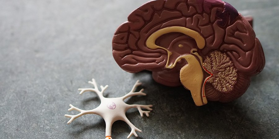 brain and nervous system model. How to use cbd oil for nerve pain. Will cbd oil help nerve pain?