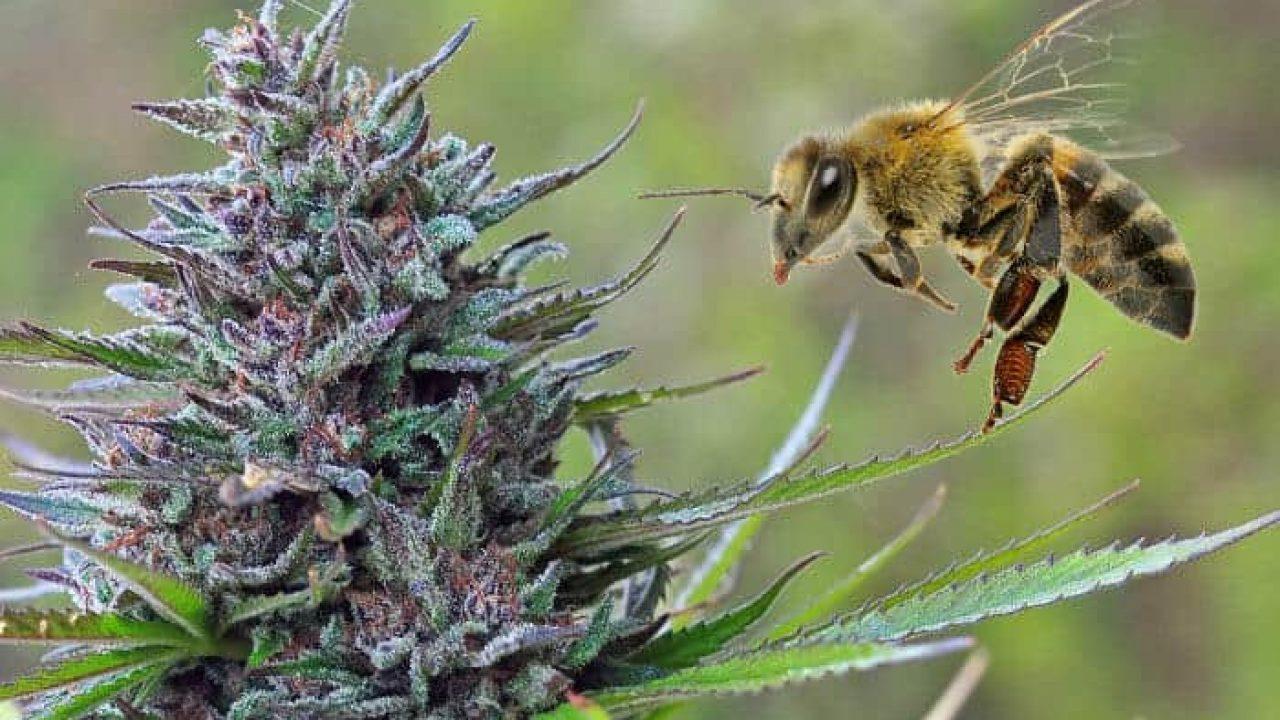 https://greatcbdshop.com/wp-content/uploads/2020/06/bees--1280x720.jpg