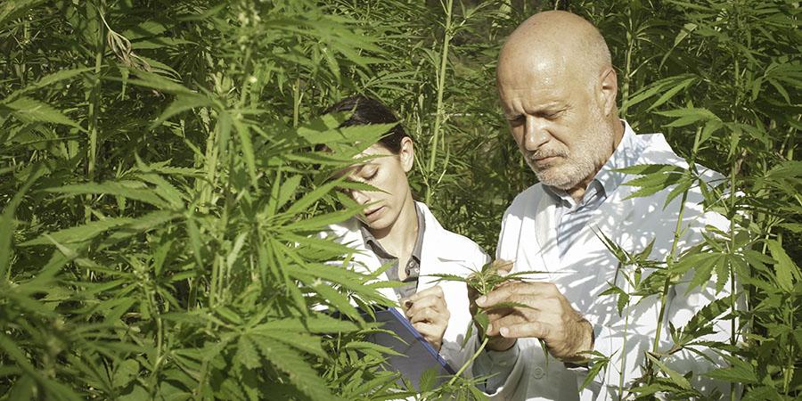 Lab tech examining hemp plants in a field. buy hemp seed oil drops online. Hemp oil extract for sale online USA.